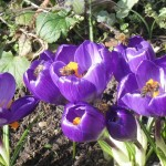 Bees enjoying the crocuses