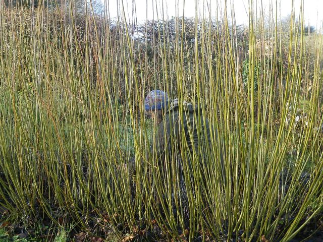Harvesting the Gorfanc willow
