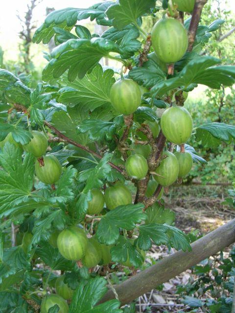 Gorfanc gooseberries